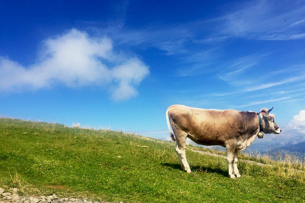 Uma vaca Milka nos Alpes
